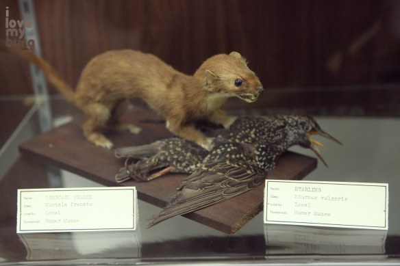 weasel vs. starling. really??